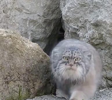 Big cat is watching you